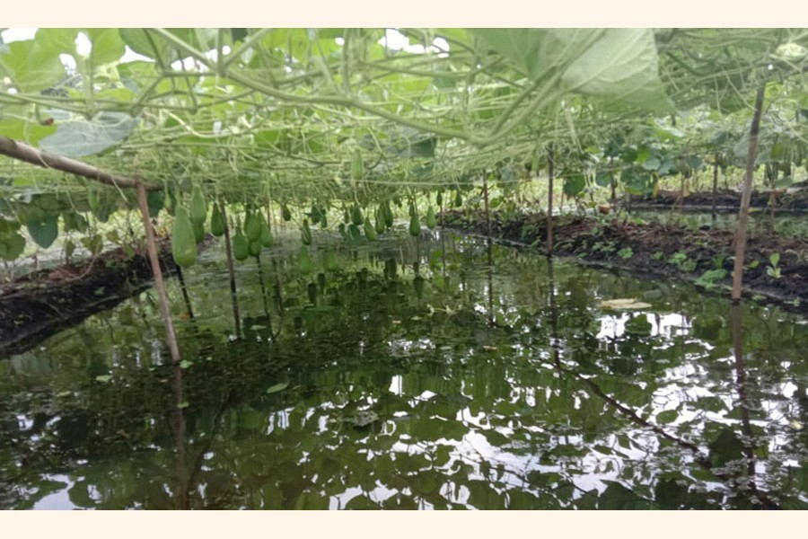 Photo shows cultivation of floating vegetables in Coma Beel of Purbadhala upazila of Netrakona — FE Photo