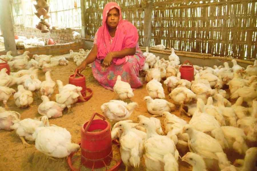 A small poultry farmer taking care of her poultry farm in Dhap Sarderpara area of Rangpur — FE/Files
